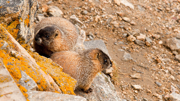 Yellow-bellied Marmot pair near their burrow.