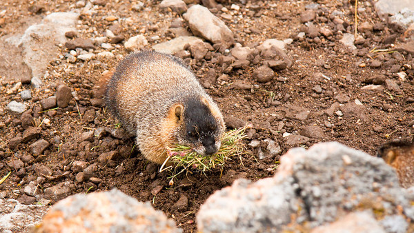 A Yellow-bellied Marmot about to enter its burrow with vegetation presumably gathered for the winter.