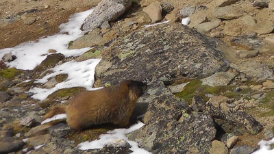 Video clip of a Yellow-bellied Marmot running around near its burrow off Trail Ridge Road.