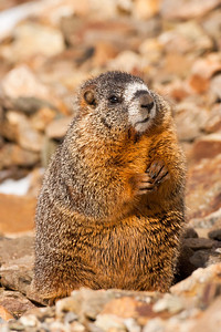 A Yellow-bellied Marmot near it's den off Trail Ridge Road