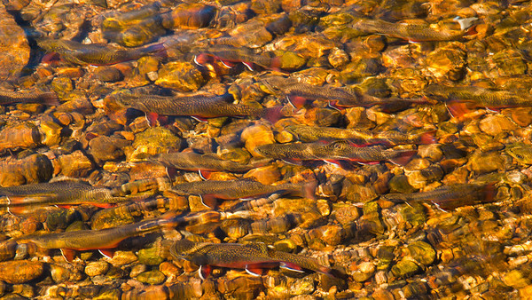 Brook trout in a shallow mountain stream near Sprague Lake.