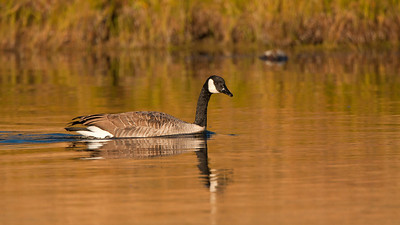 Canada Goose on the Madison River