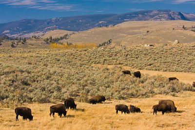 Grazing bison in Lamar Valley.