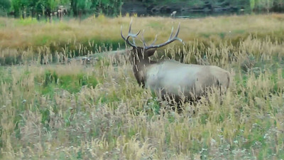 A video clip of a bull elk bugling and keeping guard over his harem along the Madison River.