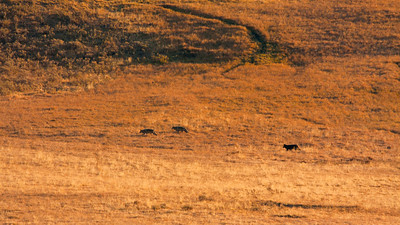 Three wolves in Hayden Valley stalking some elk.  Distance was about 1/2 mile so even our 500mm lens + 1.4 teleconverter wasn't too much help.