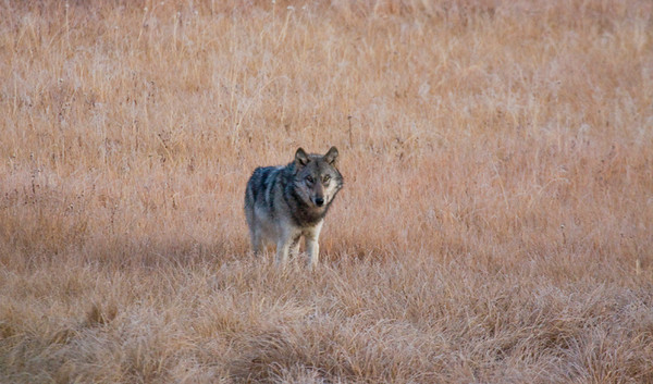A lone gray wolf checking us out (maybe sizing us up for a meal!)