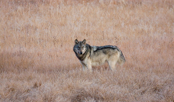 A really healthy looking gray wolf.