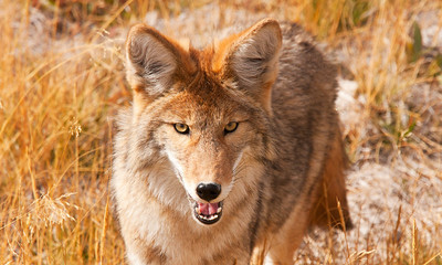 That coyote has a hungry look in his eyes!