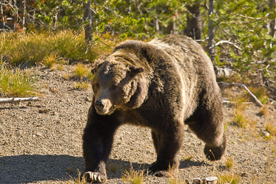 That is one big grizzly bear!  He was walking along the edge of the road.