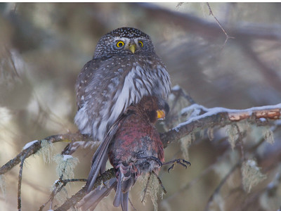 Northern Pygmy Owl with dead bird for lunch.