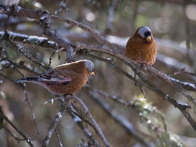 A pair of Gray-crowned Rosy Finches.