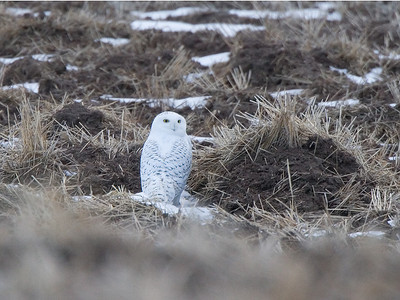 Snowy Owl in middle of field. This image was made near Polson, MT.