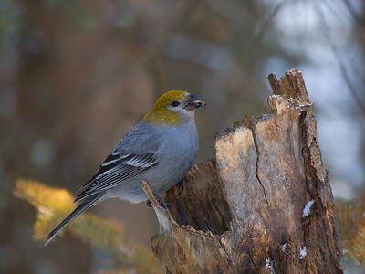 Also a Pine Grosbeak