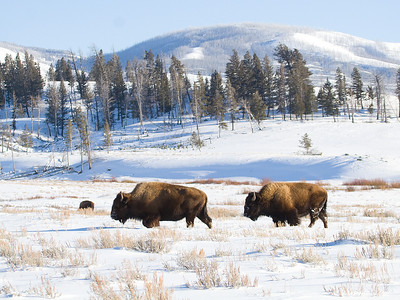 Bison in Winter, Lamar Valley, Yellowstone NP