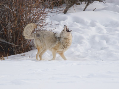 Coyote Playing with Vole, Yellowstone NP