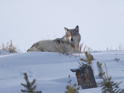 Gray Wolf in Lamar Valley at -30F