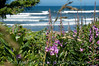 Wildflowers with a nice view of the ocean near Lincoln Beach, south of the condo near Fishing Rock.<br /> <br /> ND70_2006-07-15DSC_4875-BeachFlowersLincolnBeachZoom-nice-3 copy.jpg