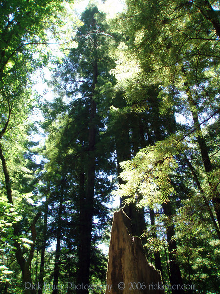 Eileen's photo of the tall, magestic Redwood trees.<br /> P7090278-TallRedwoods-2.jpg