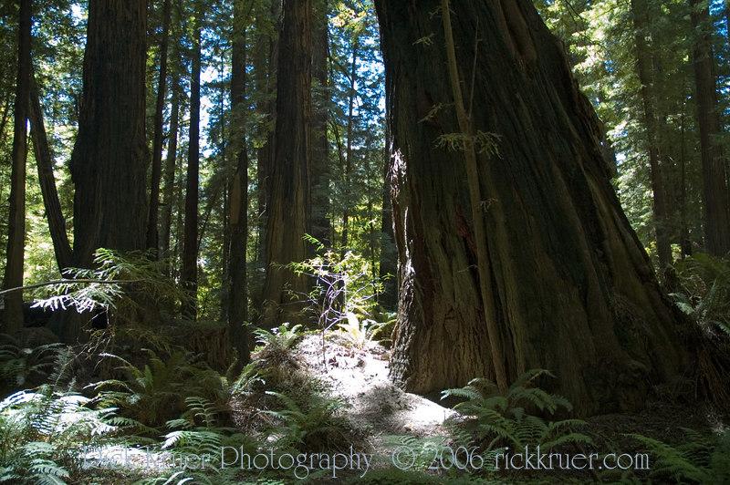 A very crooked growing large Redwood tree.<br /> ND70_2006-07-10DSC_4340-RedwoodTreeBase-2.JPG