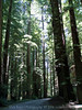 Eileen's photo of the tall Redwood trees growing right along the roadway.<br /> P7090283-TallRedwoods-2.jpg