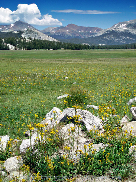 Eileen's photo of the nice scenic view of Tuolumne Meadows on Tioga Pass road toward the eastern entrance of Yosemite.<br /> <br /> P7280598-FlowersTuolummeMeadows-2 copy.jpg