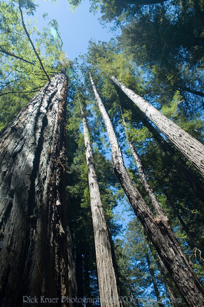 Tall, tall Redwood trees! It's fun (but a little dangerous) to walk around looking straight up to the sky following the tall, magestic trees.<br /> ND70_2006-07-10DSC_4367-RedwoodTreetops-2.JPG