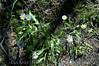 Eileen loved the purple daisies near the visitor center near Tuolumne Meadows.<br /> <br /> ND70_2006-07-29DSC_6381-EileensFlowersPurpleDaisiesVisitorCenter-2.jpg