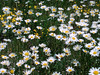 Eileen's nice daisies photo on the Dead Indian Memorial Highway.<br /> <br /> P7041228-Daisies-2.jpg