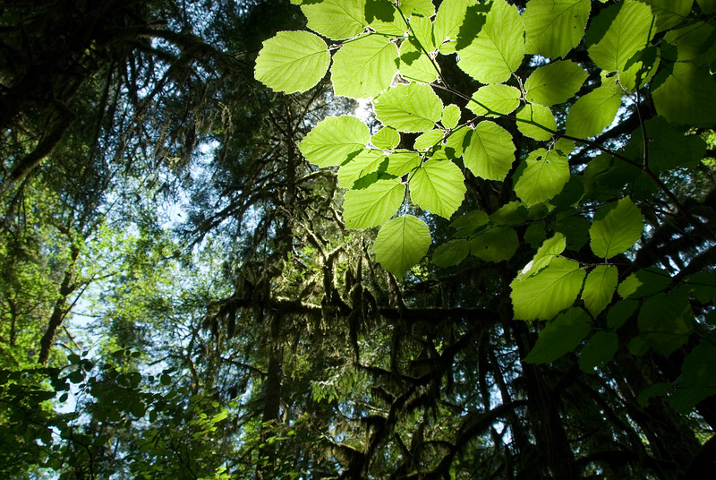 The sun peeking through the forest trees.<br /> D200_2007-07-05DSC_1028-TreeLeavesSun-nice-2.jpg