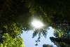 The sun peeks through the trees and the Redwoods.<br /> D200_2007-07-22DSC_2819-RedwoodsTreetopsSun-2.JPG