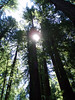 Eileen's photo of the sun peeking through the Redwoods.<br /> P7221881-RedwoodsTreetopsSun-2.jpg