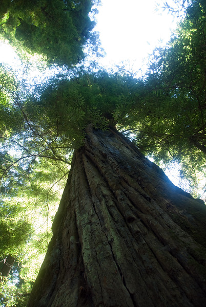 The tall Redwoods seem to extend forever up into the sky.<br /> D200_2007-07-22DSC_2781-TallRedwoodTreetops-2.jpg
