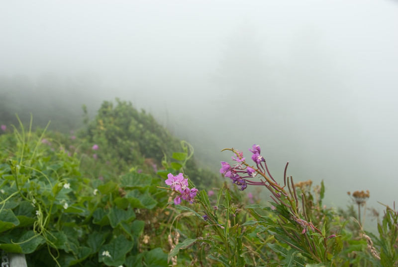 The wildflowers are barely visible in the fog at Cape Foulweather, Oregon.<br /> D200_2007-07-14DSC_1887-CapeFoulweatherFlowersFog-2.JPG