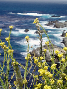 Eileen's nice photo of the wildflowers along the coast of Big Sur, CA. P7252004-FlowersCloseupBlueOcean-2.jpg