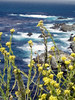 Eileen's nice photo of the wildflowers along the coast of Big Sur, CA.<br /> P7252004-FlowersCloseupBlueOcean-2.jpg