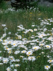 Eileen's photo of the huge field of daisies on the Dead Indian Memorial Highway.<br /> <br /> P7041226-Daisies-nice-2.jpg