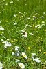 Wide view of the field with daisies and butterflies on the Dead Indian Memorial Highway.<br /> <br /> D200_2007-07-04DSC_0875-DaisiesButterfly-3.jpg