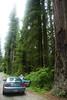 Eileen photographing the tall Redwoods.<br /> D200_2007-07-21DSC_2750-EileenPhotosMustangRedwoodsTall-nice-2.JPG
