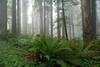 Foggy Redwoods - Panorama (4 Photos)<br /> Lady Bird Johnson Grove<br /> Redwood Nat'l Park, Orick, California<br /> July 2008<br /> <br /> Copyright © 2008 Rick Kruer<br /> rickkruer.com<br /> <br /> D200_2008-06-30DSC_5848--5851-RedwoodsFogPan-2.psd