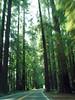 P6293074-RoadRedwoods-nice-2