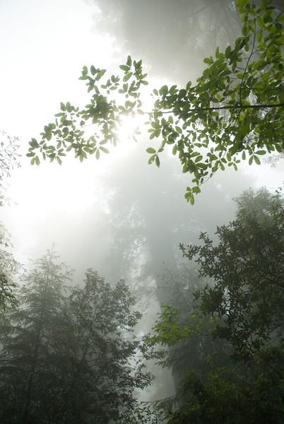 D200_2008-06-30DSC_5797-SunshineTHroughFogRedwoods-nice-2