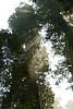D200_2008-06-30DSC_5824-SunraysFogRedwoodsTreetops-nice-2