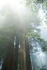Redwoods in the Fog<br /> Lady Bird Johnson Grove, California<br /> July 2008<br /> <br /> Copyright © 2008 Rick Kruer<br /> rickkruer.com<br /> <br /> D200_2008-06-30DSC_5804-RedwoodsTallFog-nice-2.psd