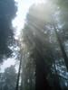 P6303170-SunsRaysFogRedwoods-nice-2