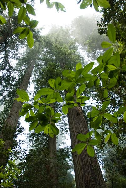 D200_2008-06-30DSC_5817-RedwoodsTreetop-2