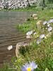 P7224098-PurpleDaisiesEmeraldLakeTall-nice-2.psd<br /> Emerald Lake, Lassen Volcanic National Park, California<br /> July 2008<br /> <br /> Copyright © 2008 Rick Kruer<br /> rickkruer.com<br /> <br /> P7224098-PurpleDaisiesEmeraldLakeTall-nice-2.psd