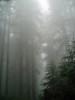 P6303117-RedwoodsFog-nice-2