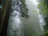 P6303134-RedwoodsTallFog-nice-2