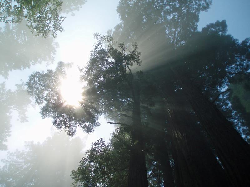 P6303172-SunsRaysTreetopsRedwoods-nice-2