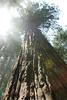 D200_2008-06-30DSC_5846-RedwoodTreeSunPatterns-nice-2